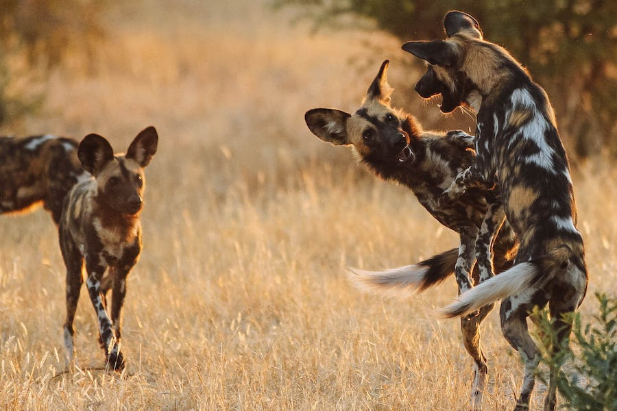 Wild dogs playing in Ruaha