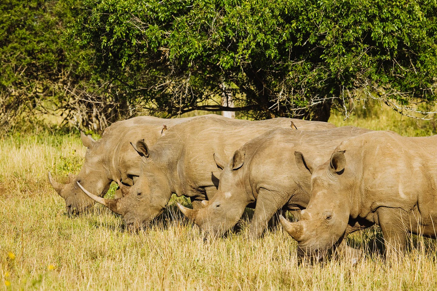 RRSL-rhinos-reduced walking safaris