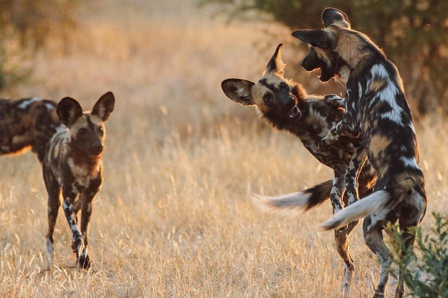 Ruaha walkings safaris
