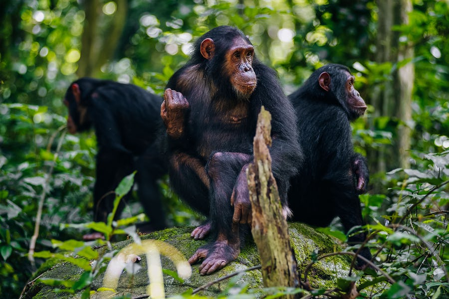 chimpanzee-mahale-mountains-tanzania