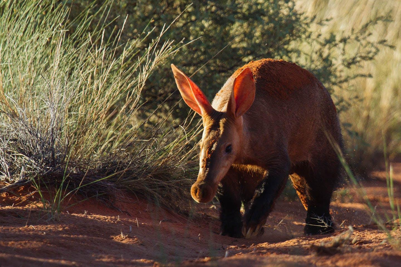 african wildlife aardvark_tswalu_kalahari_south_africa_timbuktu_travel