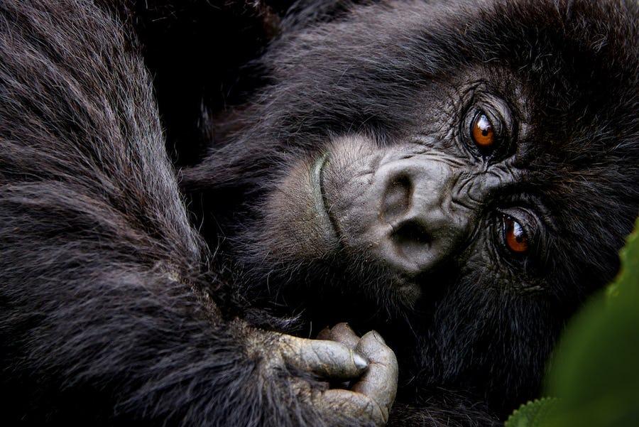 gorilla trekking best loges africa