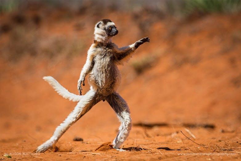 wildlife lemur