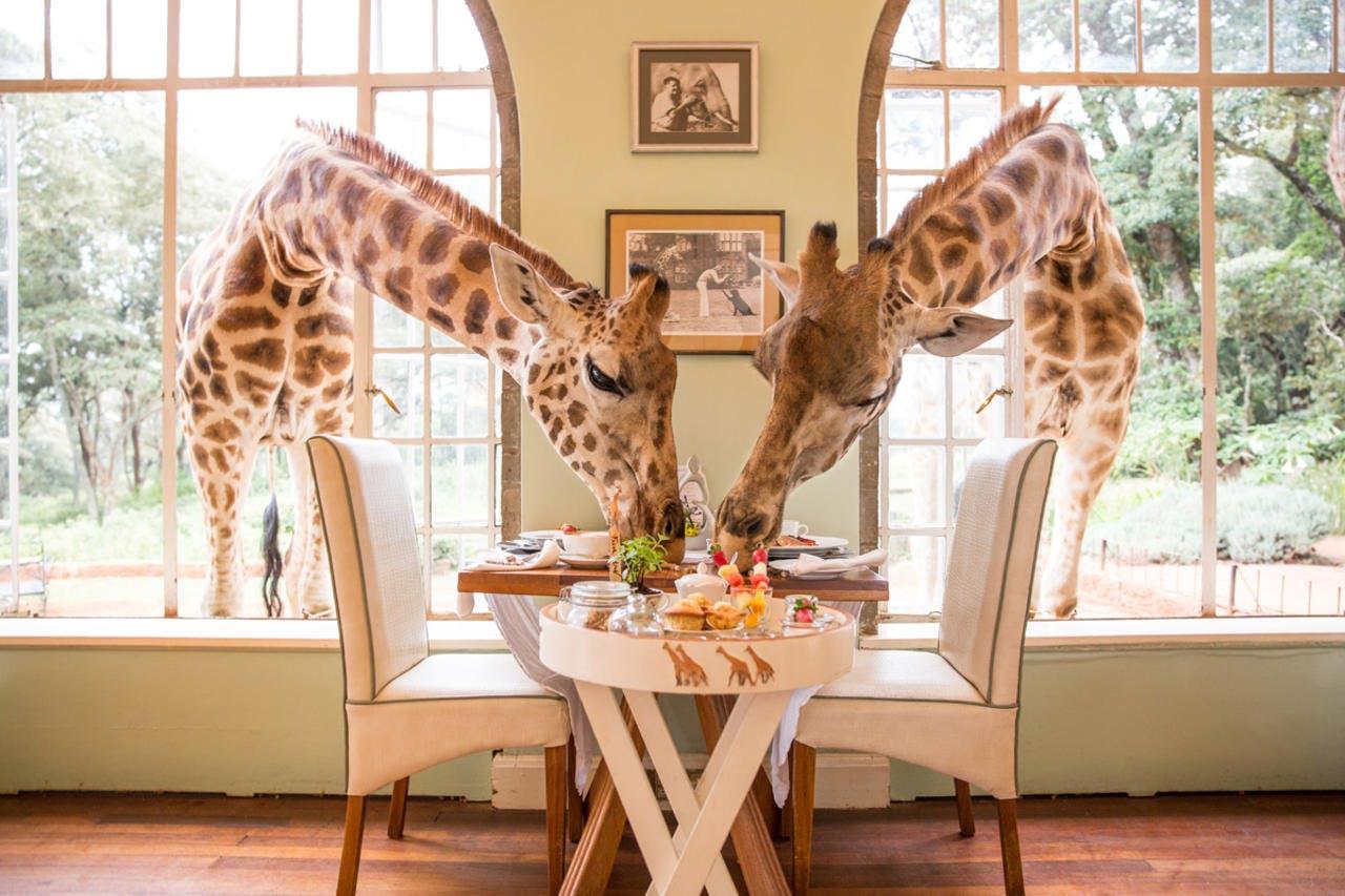 safari lodges for foodies giraffe manor kenya