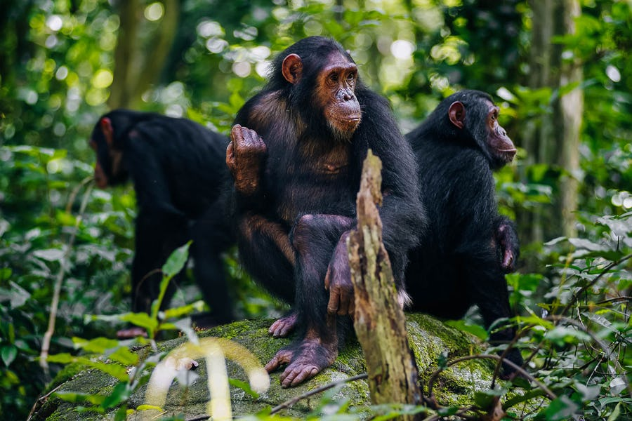 Chimp trekking in Mahale, Mahale Moutains National Park, Tanzania top 10 african adventures