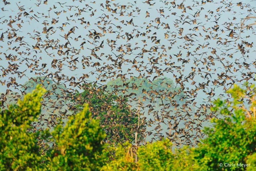 kasanka bat migration zambia Animal Migrations in Africa