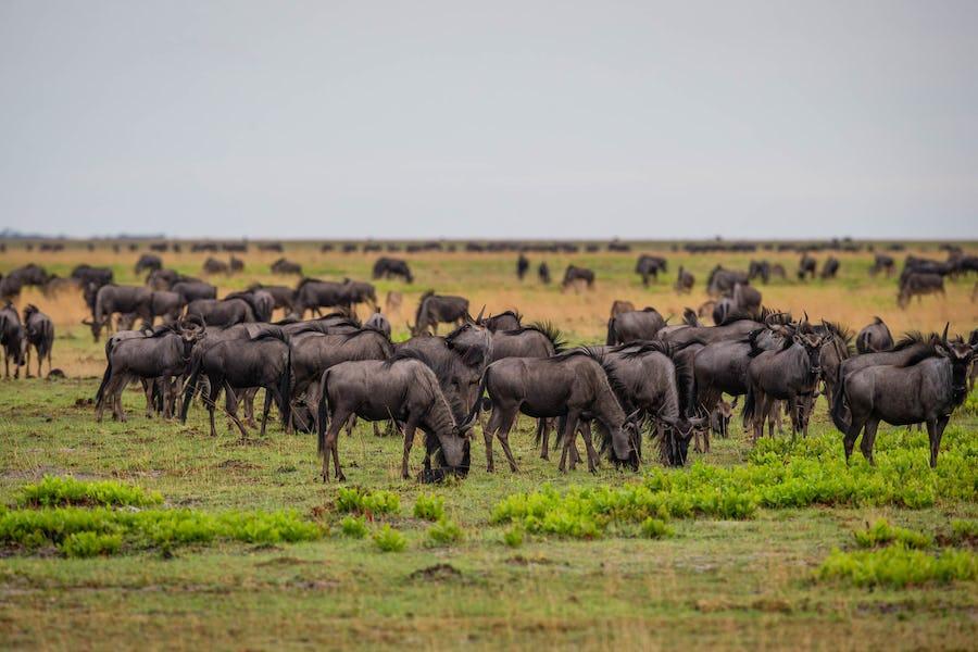 liuwa plain wildebeest migration Animal Migrations in Africa