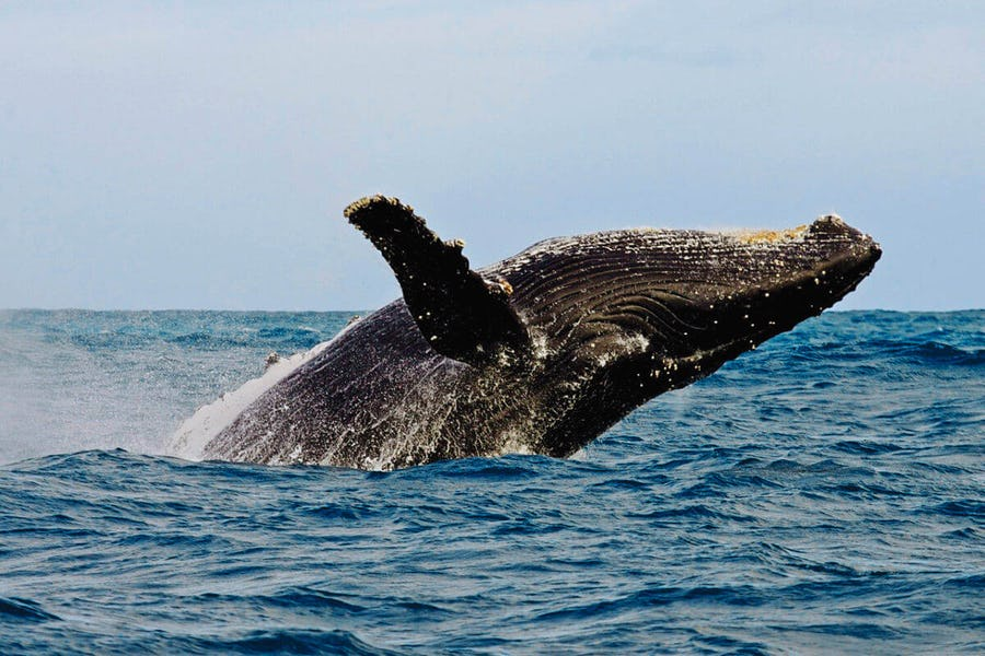 Souther Right whale south africa Animal Migrations in Africa