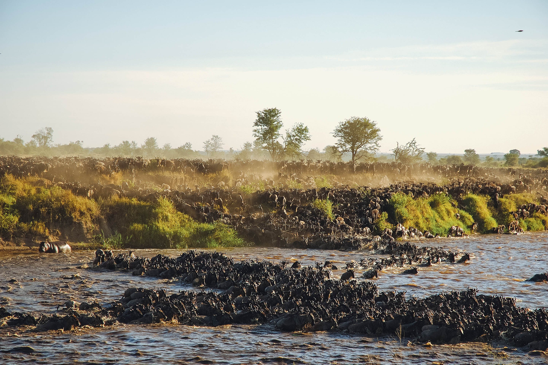 great wildebeest migration mara crossing serengeti top animal migrations in africa