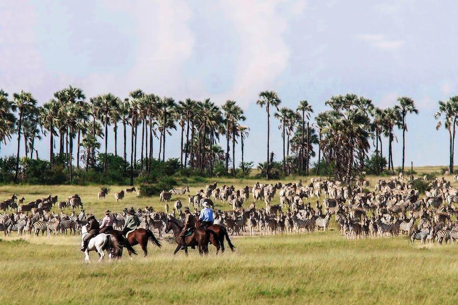 zebra migration horse safari botswana Animal Migrations in Africa