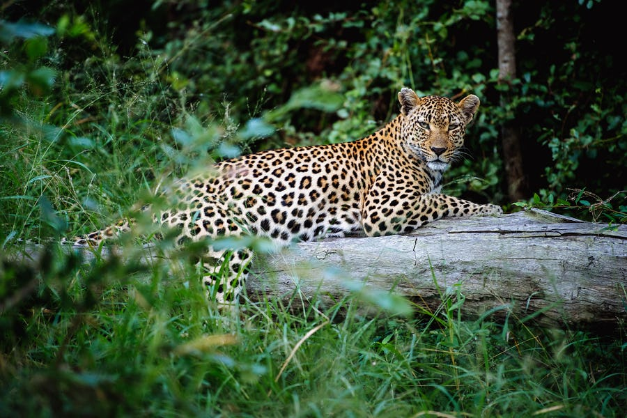 Leopard singita boulders kruger south africa best of bush and beach southern africa