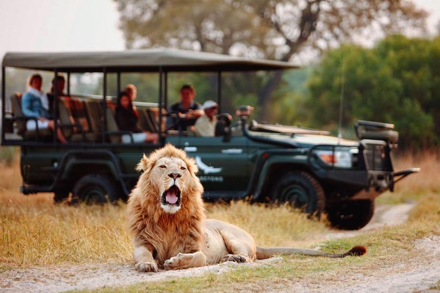 Game drive lion sandibe botswana best of bush and beach southern africa