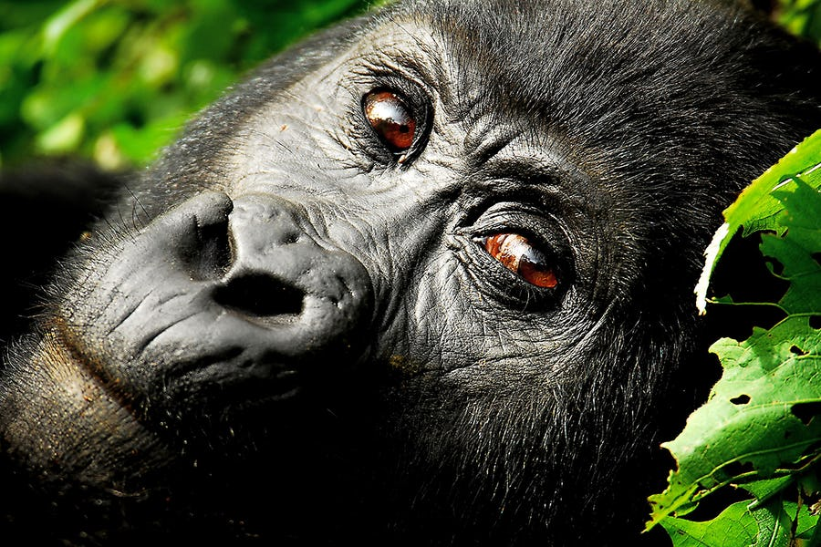 Uganda; Bwindi Impenetrable Forest; Close-up of a gorilla