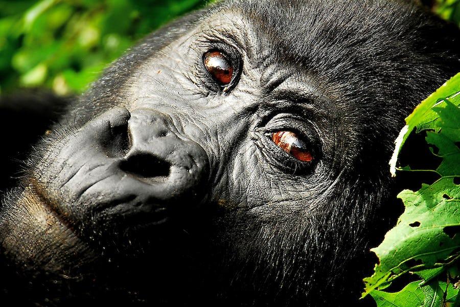 Uganda; Bwindi Impenetrable Forest; Close-up of a gorilla