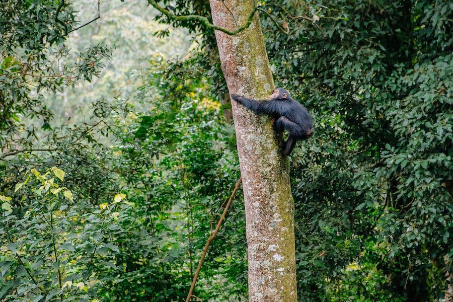 Chimpanzee, Nyungwe Forest National Park, Rwanda