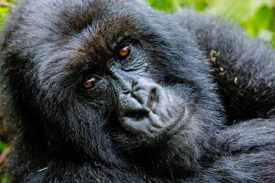 gorilla trek, Africa