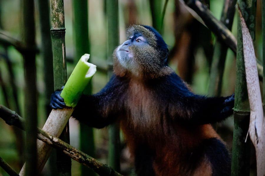golden Monkeys, Rwanda
