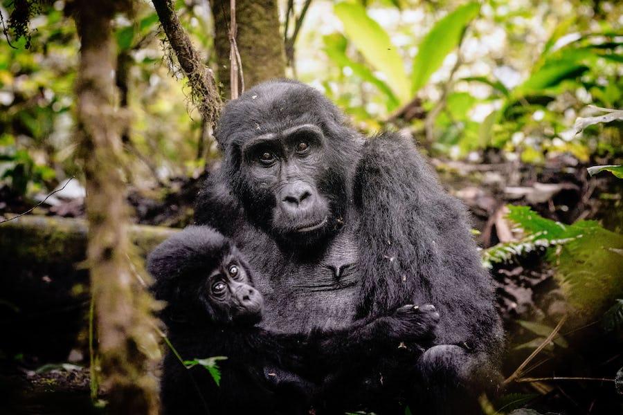 Gorilla, Uganda, Sanctuary Gorilla Forest Camp