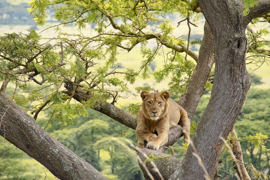 Lion, Ishasha, Uganda