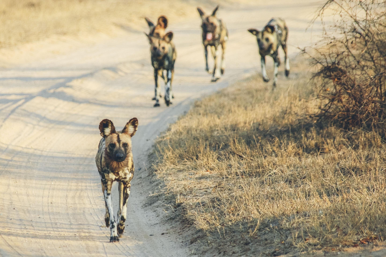 Wild Dogs Mfolozi Gorongosa Mozambique
