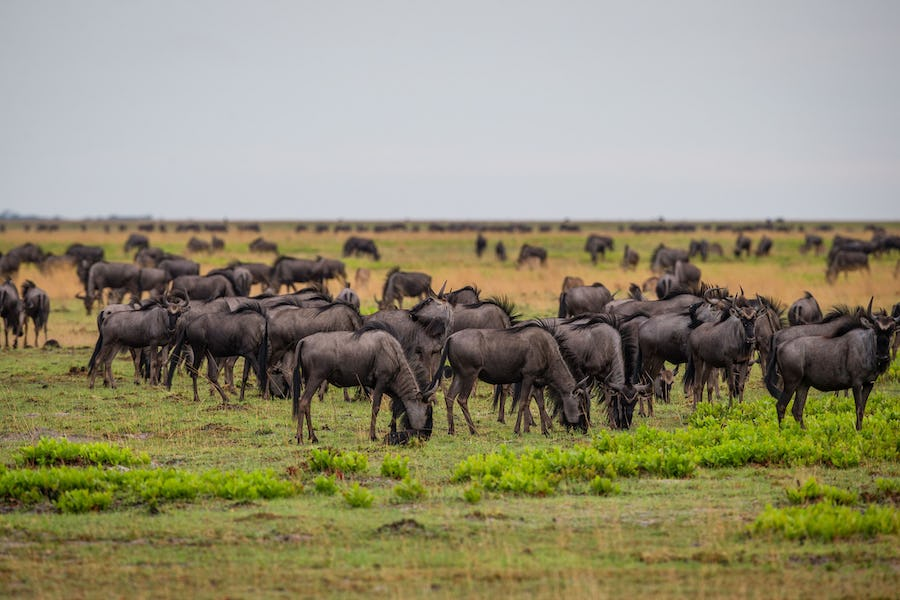 Wildebeest migration Liuwa Plain - What to do in Zambia