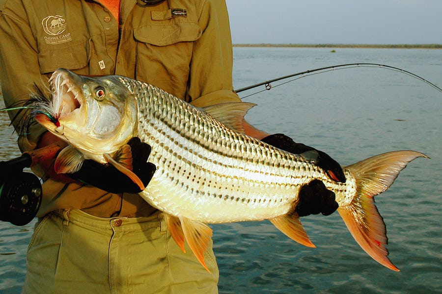 Tiger fishing Zambezi River - What to do in Zambia