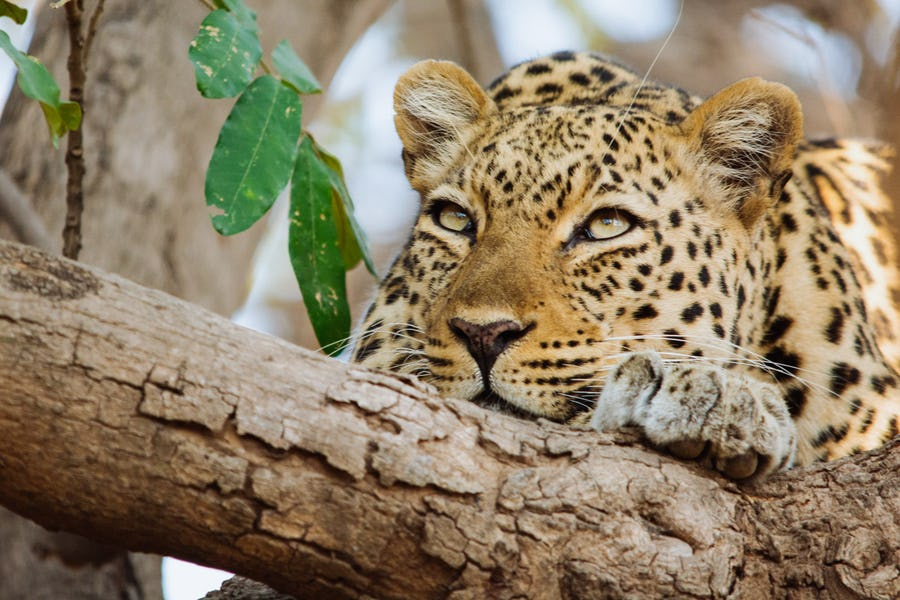 South Luangwa leopard Top safari destinations to see the Big Five
