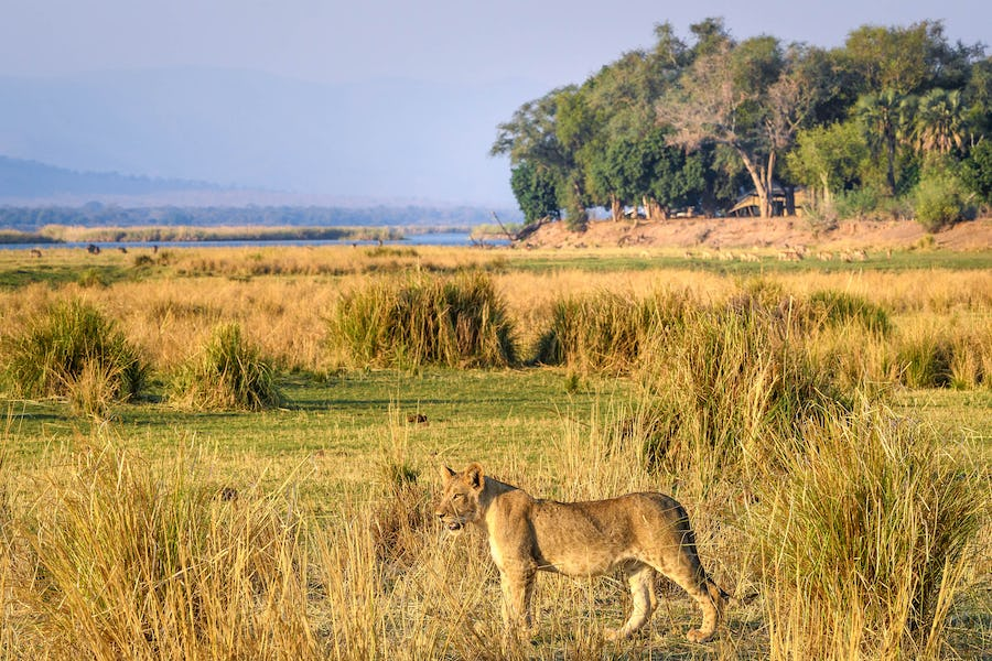 Ruckomechi Lion Mana Pools Top safari destinations to see the Big Five