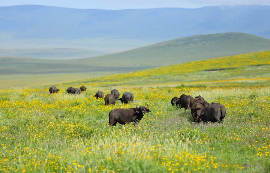 The Highlands Buffalo Ngorongoro Top safari destinations to see the Big Five