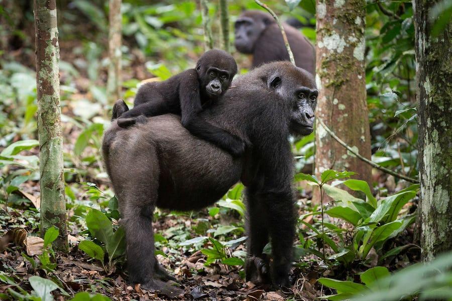 Gorilla Trekking - plan a safari