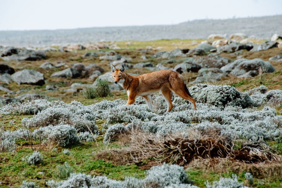 Ethiopia Travel Guide - Bale Mountains