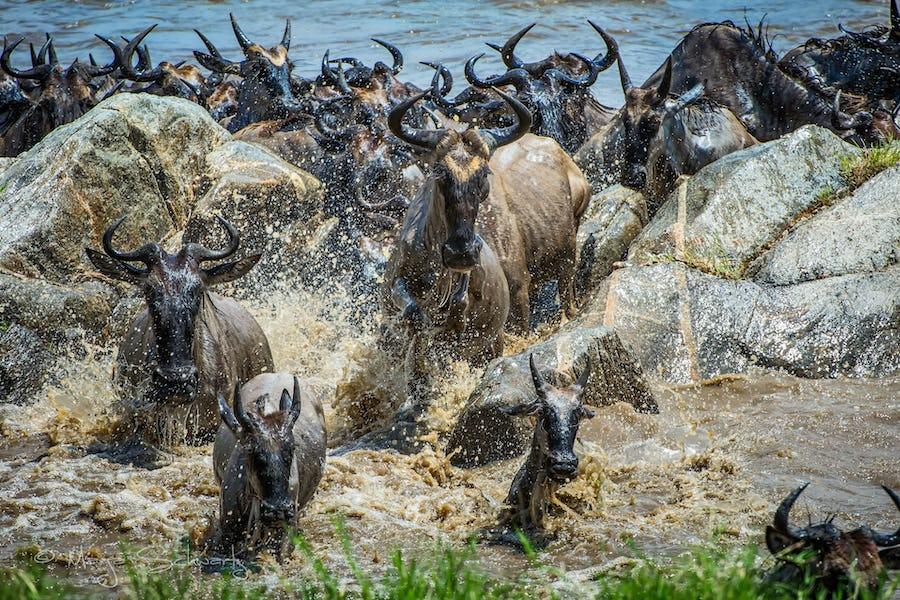 The Great Wildebeest Migration - dunia serengeti