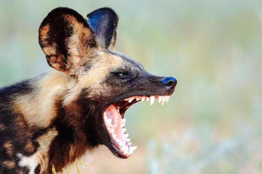Kruger - African Wild Dogs