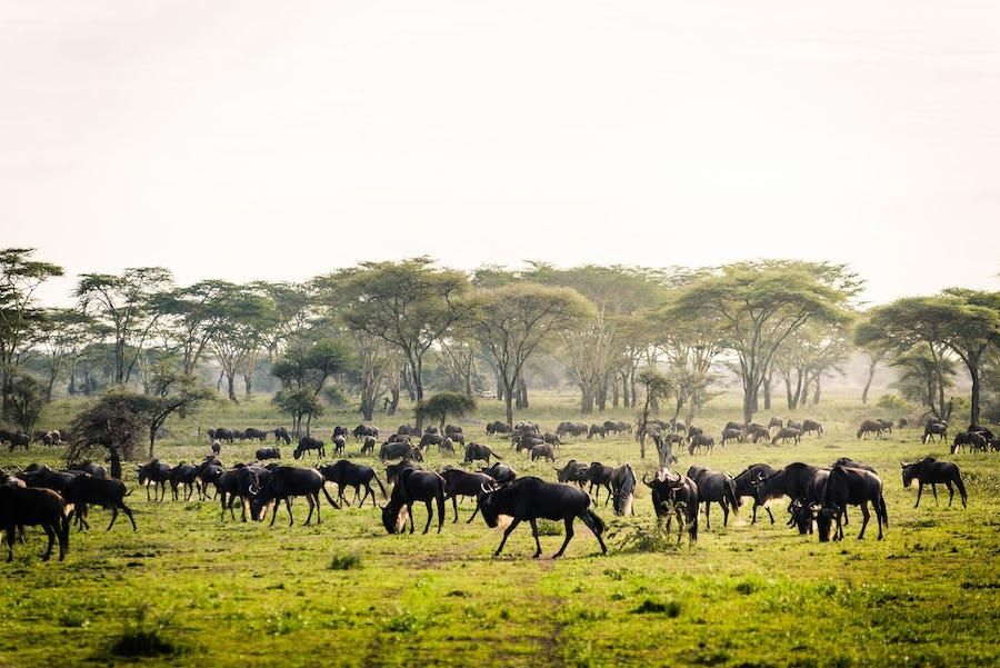The Great Wildebeest Migration - kichakani