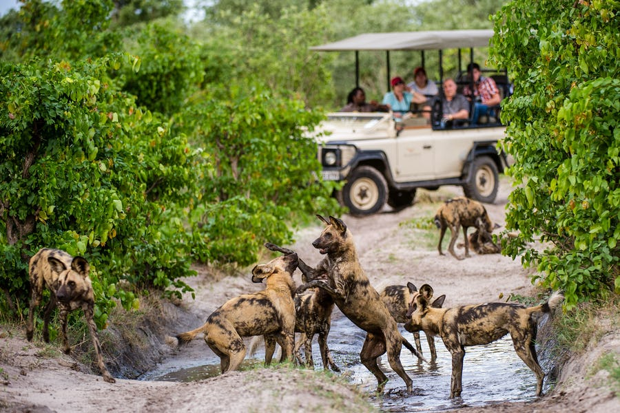 Linyanti - African Wild Dogs