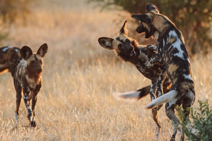 Ruaha - African Wild Dogs