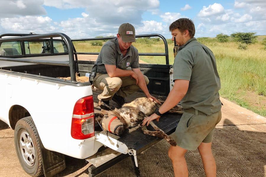 Gorongosa - African Wild Dogs