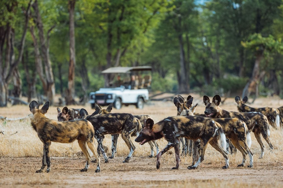 Mana Pools - African Wild Dogs