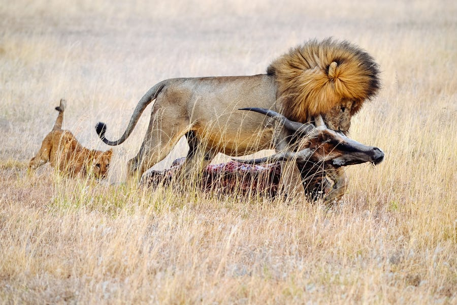 Top Places to See Wild Lions