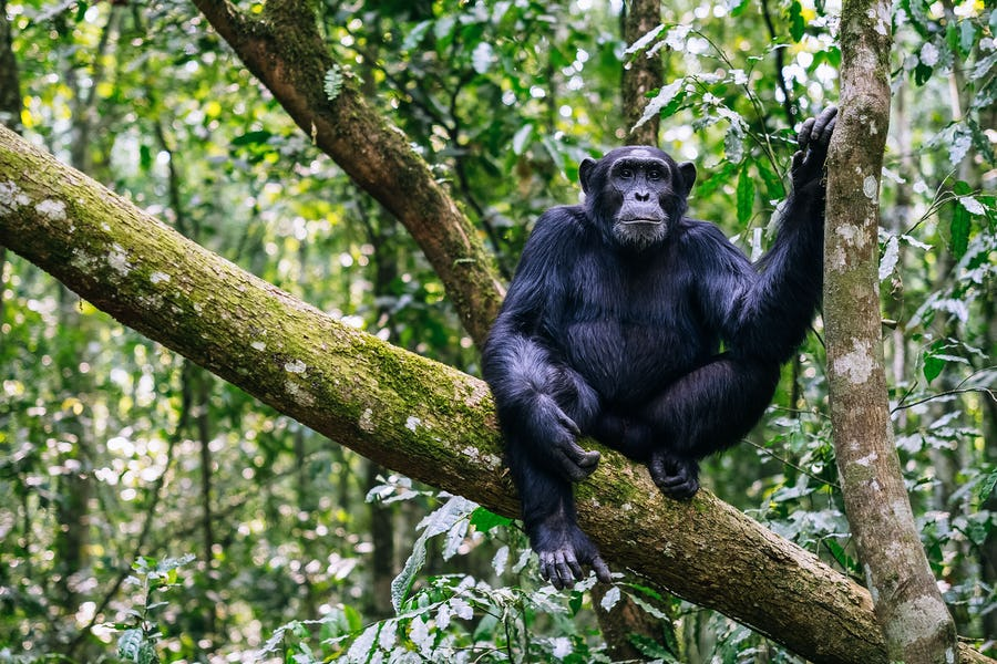 alternative big five animals - chimpanzee