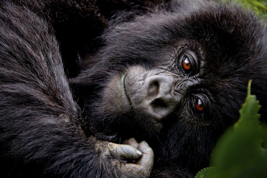 eco-conscious travel - gorillas drc