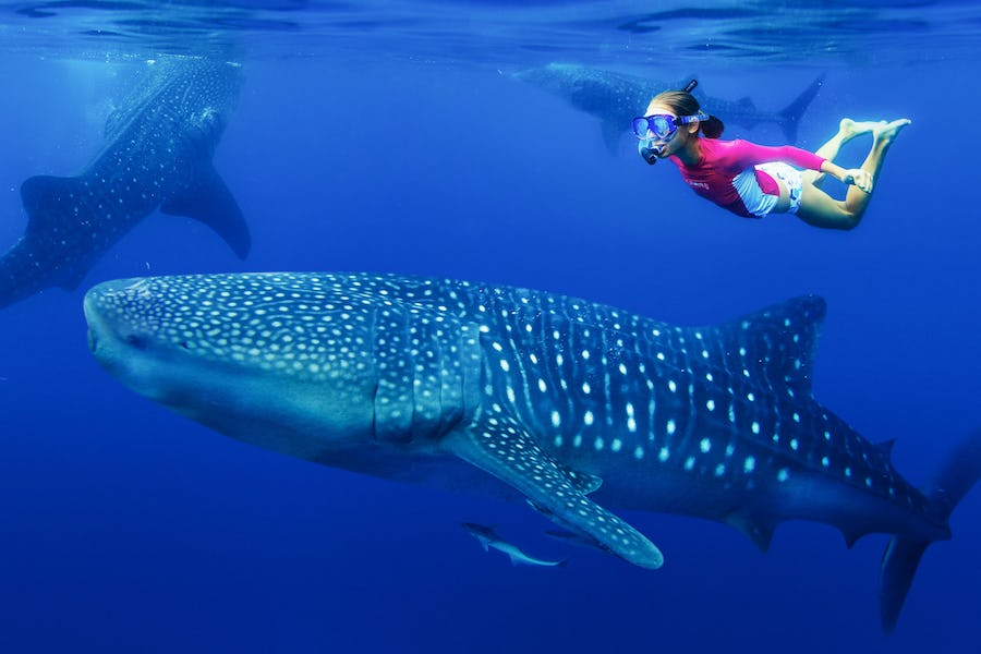 alternative big five animals - whale shark