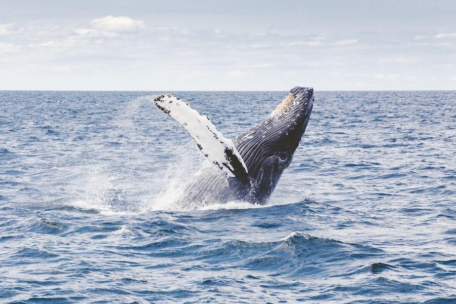 Reunion Island holiday - humpback whale