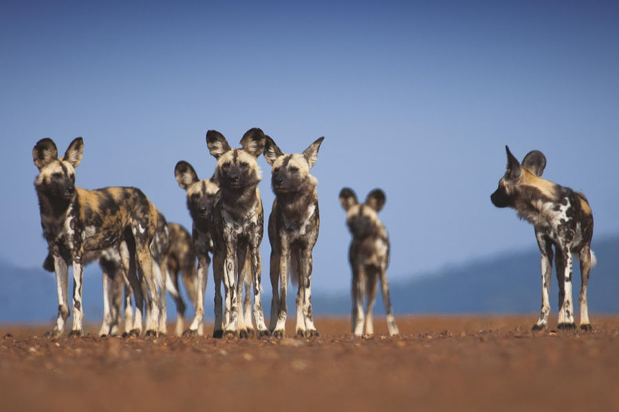 alternative big five animals - wild dog