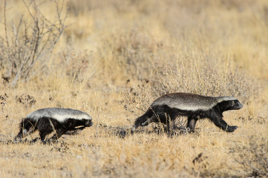 alternative big five animals - honey badger