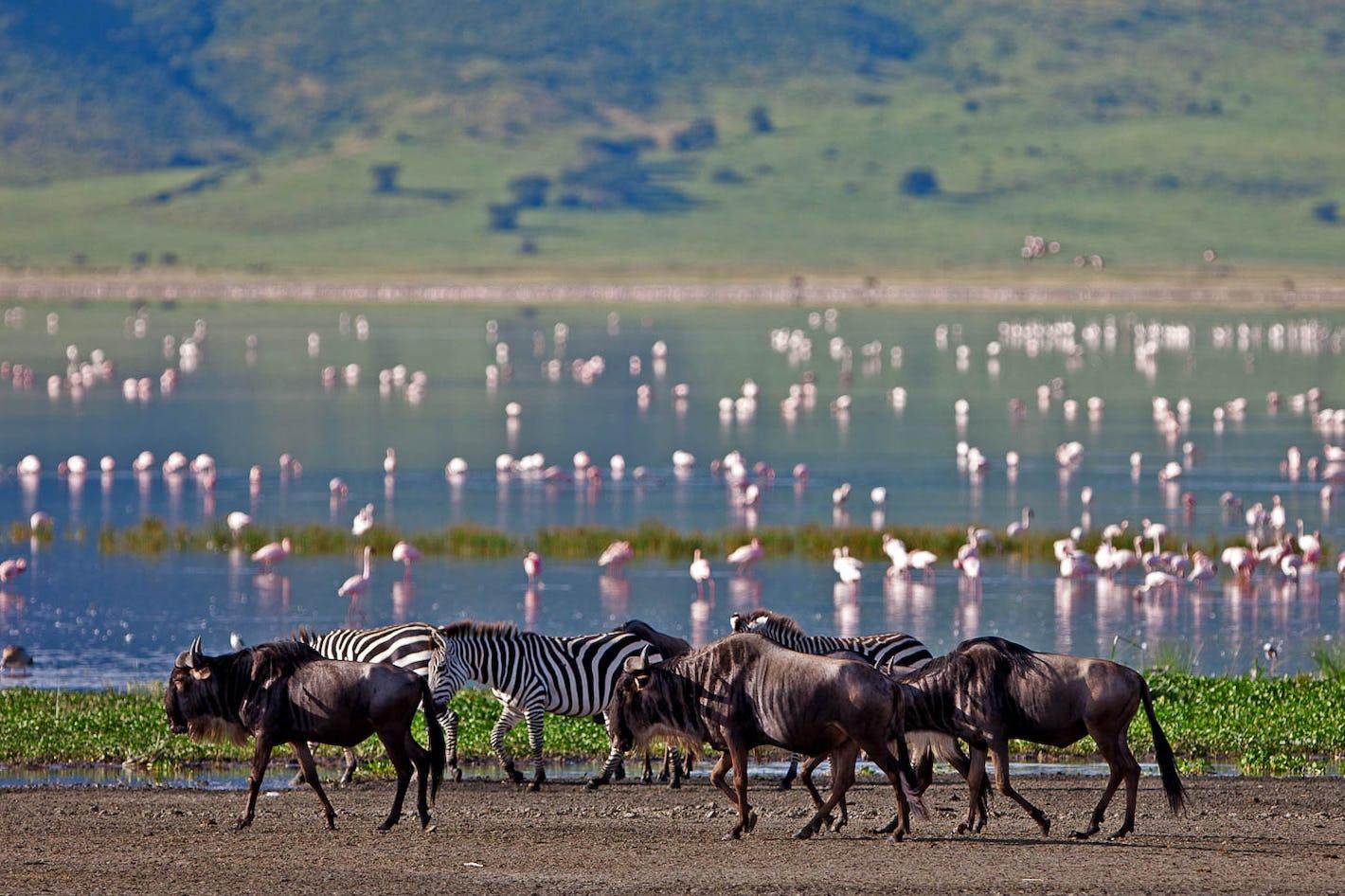 Lake Manyara Wildebeest Zebra Flamingos Lake Safari Timbuktu