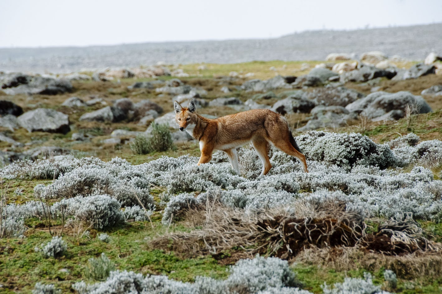 Image result for ethiopian wolf in bale mountain